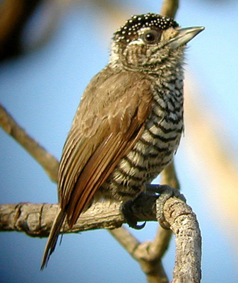 "Itatiaia features numerous Atlantic Forest specialties. On the smaller end of the spectrum are this White-barred Piculet, a tiny woodpecker...<div id=""caption_tourlink"" align=""right""> [photo © guide John Rowlett]</div>"