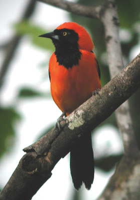 "...and Orange-backed Troupial (an oriole). During our stay on the ranch alone we usually record more than 200 species of birds, so there is always plenty to look at (and for)!<div id=""caption_tourlink"" align=""right""> [photo © guide Jan Pierson]</div>"