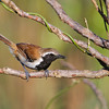 ...and Rusty-backed Antwren. (Photo by guide Marcelo Padua)