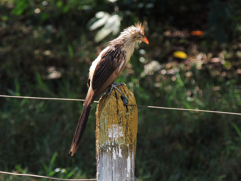 Large and social, Guira Cuckoos are a common sight in southern Brazil. (Photo by participant Max Rodel)
