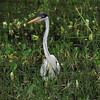 The stately Cocoi Heron is a close relative of the Great Blue Heron. (Photo by participant Max Rodel)