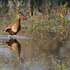 A Black-bellied Whistling-Duck makes for a nice reflection. (Photo by guide Marcelo Padua)