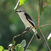 Monjitas are a group of several mainly black-and-white flycatchers of open habitats. This is a White-rumped Monjita. (Photo by participant Max Rodel)