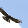 A soaring Black Hawk-Eagle is always a great sighting, especially when it's as low overhead as this one! (Photo by guide Marcelo Padua)