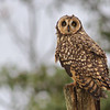 Short-eared Owls in South America look a little different than our northern birds. (Photo by guide Marcelo Padua)