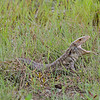 ...or the equally fearsome (almost) Caiman Lizard! (Photo by guide Marcelo Padua)