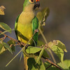 But the macaw isn't the only beauty in the parrot family; just check out this gorgeous Peach-fronted Parakeet! (Photo by guide Marcelo Padua)