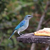 ...Azure-shouldered Tanager, a close relative of the widespread and familiar Blue-gray Tanager. (Photo by participant Max Rodel)