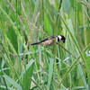 Rusty-collared Seedeater is among the most striking of all the Sporophila seedeaters. (Photo by participant Max Rodel)