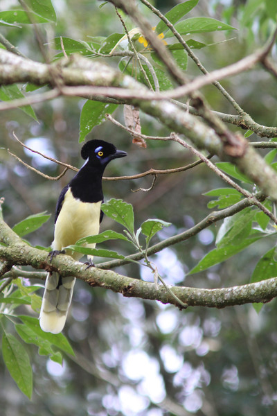 The gaudy Plush-crested Jay is common around Iguazu Falls. (Photo by guide Marcelo Padua)