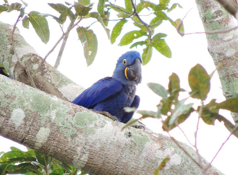 Hyacinth Macaw is high on the want-list of most Pantanal visitors. (Photo by participant Max Rodel)