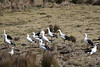 "Andean Geese are regulars near Lago Orkoncocha, the upper of the two lakes in the Llanganuco valley. <div id=""caption_tourlink"" align=""right"">[photo © guide Richard Webster]</div>"