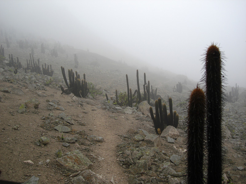 """Back in Lima, we have time for a day trip to the Lomas de Lachay National Reserve, where we seek the endemic Cactus Canastero in the fog-enshrouded coastal hills (""""lomas"""") before our evening flights homeward. <div id=""""caption_tourlink"""" align=""""right"""">[photo © guide Rose Ann Rowlett]</div>"""