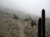 "Back in Lima, we have time for a day trip to the Lomas de Lachay National Reserve, where we seek the endemic Cactus Canastero in the fog-enshrouded coastal hills (""lomas"") before our evening flights homeward. <div id=""caption_tourlink"" align=""right"">[photo © guide Rose Ann Rowlett]</div>"