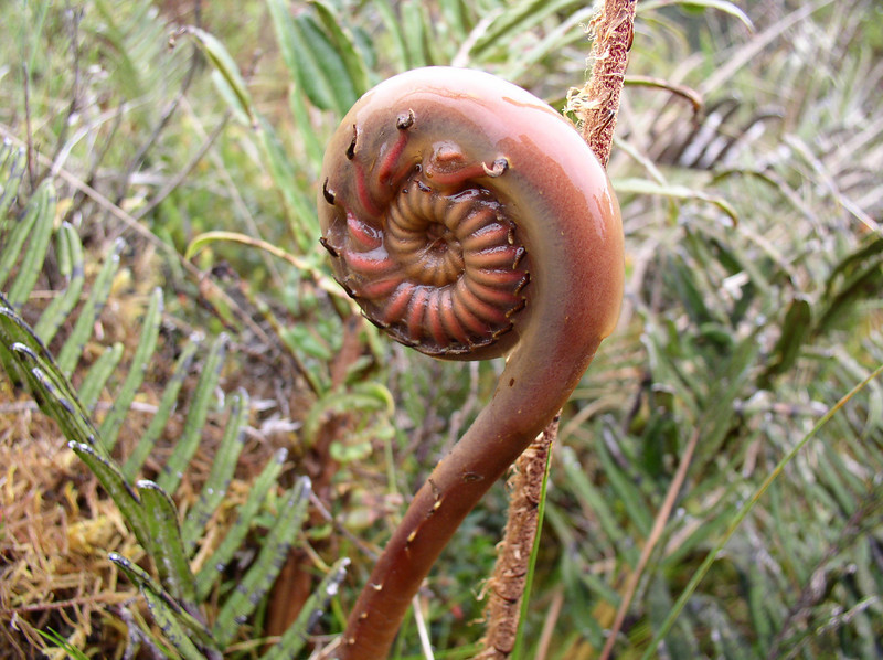 """Is it a fern fiddlehead or a cryptic coiled millipede?! <div id=""""caption_tourlink"""" align=""""right"""">[photo © guide Rose Ann Rowlett]</div>"""