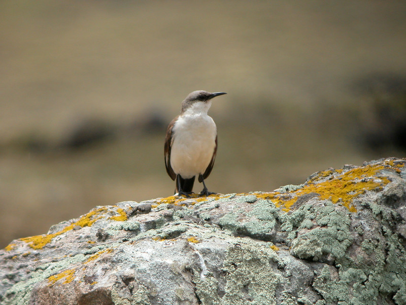 "The big White-bellied Cinclodes, endemic to high-Andean central Peru, can look reminiscent of a Northern Mockingbird. <div id=""caption_tourlink"" align=""right"">[photo © guide Richard Webster]</div>"