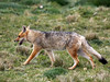 "The Culpeo Fox, or Andean Fox, is the second largest native canid to South America.  It hunts rodents, rabbits, birds, and lizards in the high puna and open habitats from Ecuador to Tierra del Fuego. <div id=""caption_tourlink"" align=""right"">[photo © guide Richard Webster]</div>"