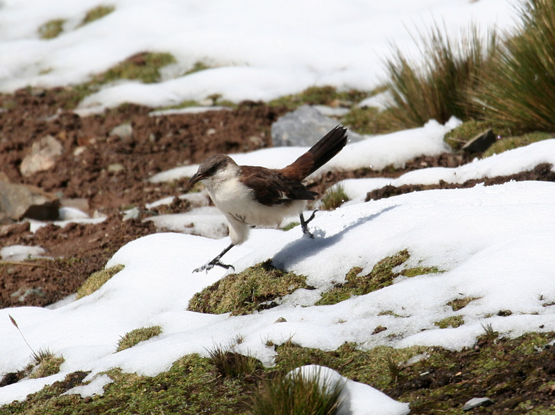 "But the cinclodes don't seem to mind it; in fact, they almost seem to enjoy it, running about like a child at play! <div id=""caption_tourlink"" align=""right"">[photo © guide Richard Webster]</div>"