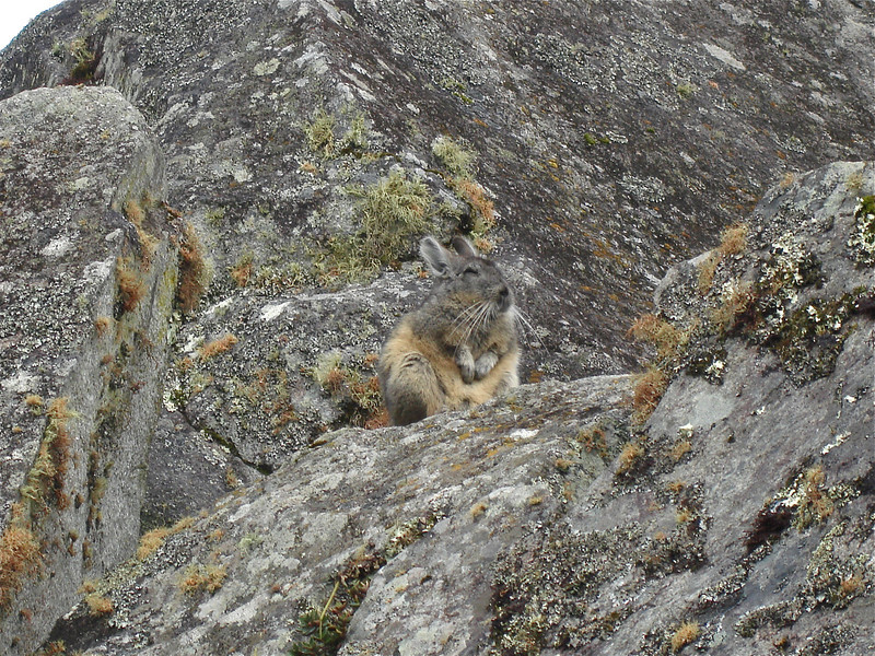 """A well camouflaged Mountain Viscacha surreptitiously watches us pass. <div id=""""caption_tourlink"""" align=""""right"""">[photo © guide Rose Ann Rowlett]</div>"""