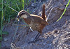 """Another endemic we see here is the Moustached Turca, a quail-sized tapaculo which unlike its relatives is often seen out in the open. Large tapaculos are a specialty of Chile, and we try hard to see every single one of them. Some are straightforward, others can be tricky. <div id=""""caption_tourlink"""" align=""""right"""">  [photo © guide Alvaro Jaramillo]</div>"""