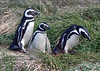 """Our tour begins in the south, in Magallanes, the region dominated by the Strait of Magallanes. Near the city of Punta Arenas we visit the Otway Sound <strong>Magellanic Penguin</strong> colony. Otway Sound is a huge inlet of the Pacific Ocean which reaches well east of the Andes chain! Captain Fitzroy and his ship, the HMS Beagle, sailed through here with their famous ship's naturalist, Charles Darwin. <div id=""""caption_tourlink"""" align=""""right"""">  [photo © guide Alvaro Jaramillo]</div>"""