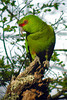 """One of Chile's endemics of the Lake District area is the Slender-billed Parakeet. The reason this parakeet has that elongated upper mandible is unclear. Until recently (see our book) the species was thought to be associated closely with the Monkey Puzzle (Araucaria araucana) tree, but this appears not to be the case as the Austral Parakeet is the species of higher elevations. In fact the Slender-billed is much more likely to be seen in farmland on the way to the Andes than in the Andes themselves. The long seeds of the Monkey Puzzle seemed to be the perfect food for a parakeet with a long bill, and this seems to have been the logical assumption but not one supported by observational data. The question therefore remains: Why does this parakeet have a slender bill? <div id=""""caption_tourlink"""" align=""""right"""">  [photo © guide Alvaro Jaramillo]</div>"""