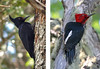 """One of the prize birds of the temperate forests is the Magellanic Woodpecker. The female (left) lacks the red head of the male (right) but has a most expressive long crest. This large woodpecker is the only temperate inhabitant of the genus Campephilus which still exists in numbers; the others included the Ivory-billed and Imperial woodpeckers. The Magellanic Woodpecker is perhaps the closest most of us will come to seeing an Ivory-billed Woodpecker! <div id=""""caption_tourlink"""" align=""""right""""> [photo © Alvaro Jaramillo & Richard Stilwell]</div>"""