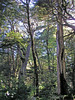 """These are the old-growth temperate """"Southern Beech"""" or Nothofagus forests of Chile. It is here in spots with the largest and oldest trees that we have a good chance of finding the fantastic Magellanic Woodpecker. <div id=""""caption_tourlink"""" align=""""right"""">  [photo © guide Alvaro Jaramillo]</div>"""