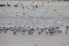 """A mix of terns congregate on the mudflats at Los Camarones. <br><div id=""""caption_tourlink"""" align=""""right""""> [photo © guide Jesse Fagan]</div>"""
