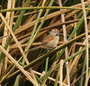"The Silvery-throated Spinetail, endemic to Colombia, is fairly common in the marshy areas around Bogota. <br><div id=""caption_tourlink"" align=""right""> [photo © guide Jesse Fagan]</div>"