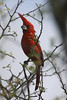 """This sharp looking bird is the Vermilion Cardinal, this one was seen at Los Camarones along the Caribbean coast. <br><div id=""""caption_tourlink"""" align=""""right""""> [photo © guide Jesse Fagan]</div>"""