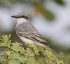 "A Gray Kingbird at Los Camarones. <br><div id=""caption_tourlink"" align=""right""> [photo © guide Jesse Fagan]</div>"