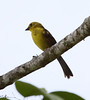 """The Yellow-headed Brush-Finch is endemic to Colombia.  This photo was taken at around 1900 masl above the town of Libano.  <br><div id=""""caption_tourlink"""" align=""""right""""> [photo © guide Jesse Fagan]</div>"""