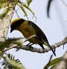 """A Blue-winged Mountain-Tanager near Libano, Jan 2010. <br><div id=""""caption_tourlink"""" align=""""right""""> [photo © guide Jesse Fagan]</div>"""