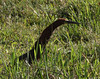 """A Rufescent Tiger-Heron hunts in the marshes along the long entrance road to the El Paujil Reserve. <br><div id=""""caption_tourlink"""" align=""""right""""> [photo © guide Jesse Fagan]</div>"""