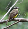 """A Rusty-margined Flycatcher at the El Paujil Reserve. <br><div id=""""caption_tourlink"""" align=""""right""""> [photo © guide Jesse Fagan]</div>"""