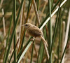 """Apolinar's Wren is restricted to the highland marshes around Bogota. <br><div id=""""caption_tourlink"""" align=""""right""""> [photo © guide Jesse Fagan]</div>"""
