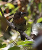"A Moustached Puffbird checks out its surroundings at the Bushbird Reserve near Ocana. <br><div id=""caption_tourlink"" align=""right""> [photo © guide Jesse Fagan]</div>"