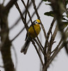 """A Golden-fronted Redstart at Chingaza NP.   <br><div id=""""caption_tourlink"""" align=""""right""""> [photo © guide Jesse Fagan]</div>"""