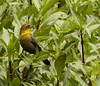 """A female Yellow-hooded Blackbird watches for her mate at a local marsh in Bogata. <br><div id=""""caption_tourlink"""" align=""""right""""> [photo © guide Jesse Fagan]</div>"""