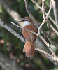 """A Yellow-chinned Spinetail makes his presence known. <br><div id=""""caption_tourlink"""" align=""""right""""> [photo © guide Jesse Fagan]</div>"""