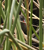 """The endemic Bogota Rail seen in what is probably a common situation for most birders. <br><div id=""""caption_tourlink"""" align=""""right""""> [photo © guide Jesse Fagan]</div>"""