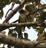 """Apical Flycatcher, endemic to Colombia, near Mariquita. <br><div id=""""caption_tourlink"""" align=""""right""""> [photo © guide Jesse Fagan]</div>"""