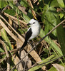 """Pied Water-Tyrant was seen a number of times on our tour. <br><div id=""""caption_tourlink"""" align=""""right""""> [photo © guide Jesse Fagan]</div>"""
