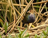 """A nearly one-year old Purple Gallinule at a Bogota marsh. <br><div id=""""caption_tourlink"""" align=""""right""""> [photo © guide Jesse Fagan]</div>"""