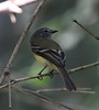 """A Black-billed Flycatcher searches for its next prey at the El Paujil Reserve, Colombia. <div id=""""caption_tourlink"""" align=""""right""""> [photo © guide Jesse Fagan]</div>"""