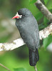 "White-fronted Nunbird <div id=""caption_tourlink"" align=""right""> [photo © guide Jan Pierson]</div>"