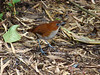 "White-bellied Antpitta <div id=""caption_tourlink"" align=""right""> [photo © guide Mitch Lysinger]</div>"