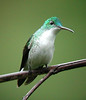 "Andean Emerald <div id=""caption_tourlink"" align=""right""> [photo © guide Jan Pierson]</div>"