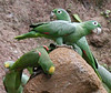 """Mealy Parrot and Yellow-crowned Parrot, outer parrot lick, Añangu, Sacha <div id=""""caption_tourlink"""" align=""""right""""> [photo © guide Jan Pierson]</div>"""